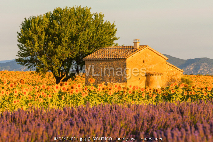 France, Alpes de Haute Provence, Regional Natural reserve of Verdon, plateau of Valensole, sunflowers and lavender