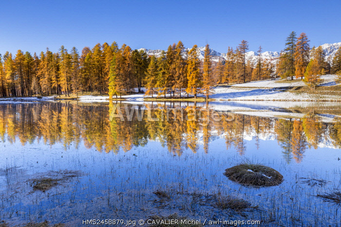 France, Hautes Alpes, regional natural reserve of Queyras, forest of Larch (Larix decidua) on the lake of Roue (1854m)