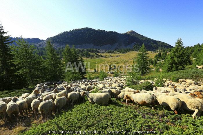 France, Alpes de Haute Provence, Le Lauzet Ubaye, Col Bas, sheep transhumance