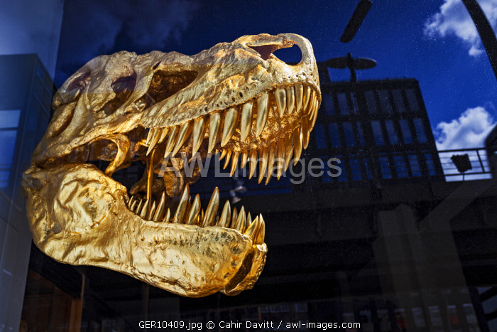 Gold Painted Tyrannosaurus Rex Skull on display in a gallery in Rodingsmarkt district of Hamburg, Rodingsmarkt, Hamburg, Germany.