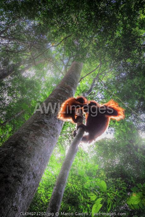 Sumatran orangutan mother with baby climbing a tree in Gunung Leuser National Park, Northern Sumatra.