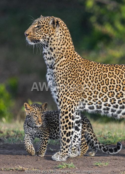 Kenya, Masai Mara, Narok County.  A female leopard cub with her cub.