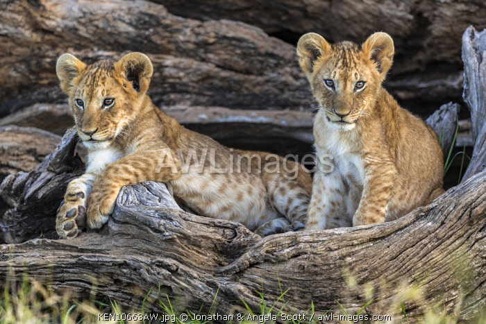 Kenya, Maasai Mara National Reserve, Maasailand, Narok County, Musiara Marsh.  Two four-month-old cubs playing and resting at their den in a fallen fig tree early in the morning in Musiara Marsh.