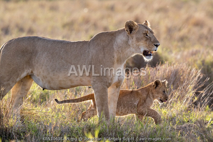 Kenya, Maasai Mara National Reserve, Maasailand, Narok County, Musiara Marsh. A lioness  heads for cover with her cubs early in the morning in Musiara Marsh.