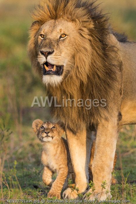 Kenya, Maasai Mara National Reserve, Maasailand, Narok County, Musiara Marsh. A male lion being greeted by a young cub early in the morning at Musiara Marsh