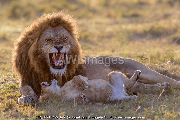 Kenya, Maasai Mara National Game Reserve. A male lion shows his impressive canine teeth in a low intensity threat as a cub comes over to greet him and then rolls on its back in a submissive gesture of appeasement with mouth open. This is a pride male greeting and being greeted by one of the cubs in his pride. Dawn or sunrise
