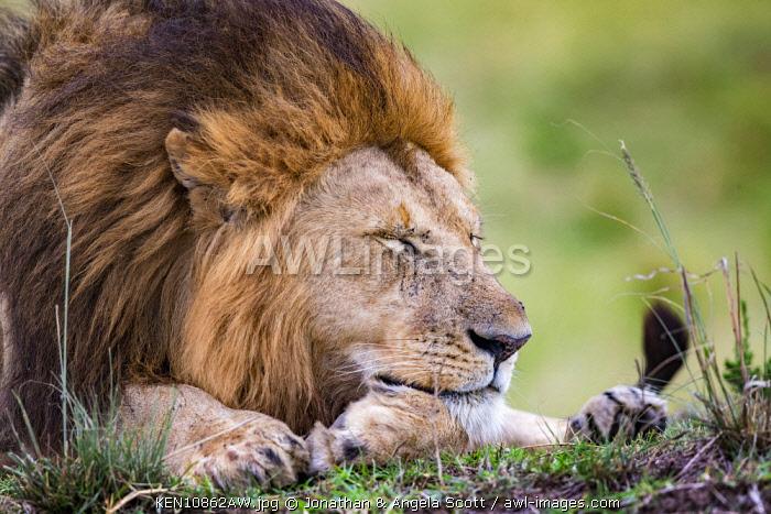 Kenya, Maasai Mara National Reserve, Maasailand, Narok County, Musiara Marsh. A male lion resting
