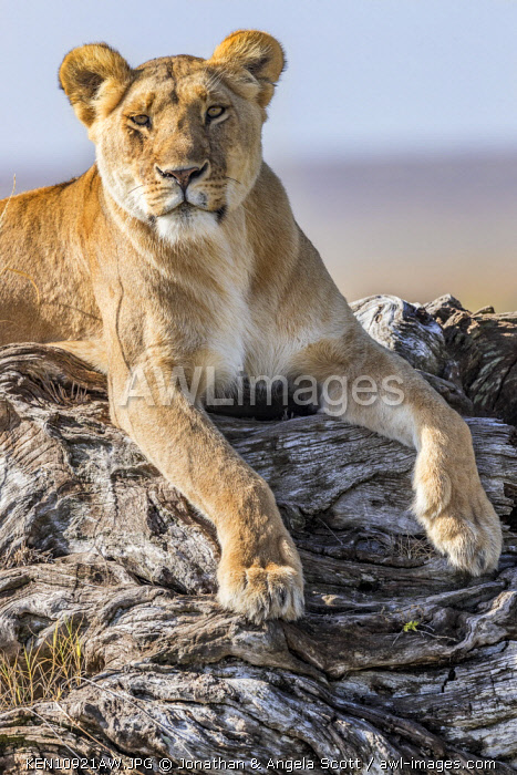Lioness resting on a log