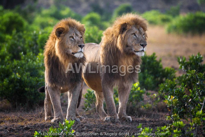 Kenya, Maasai Mara National Game Reserve. Male lions standing tall in the early morning. Two pride males from the Acacia Pride