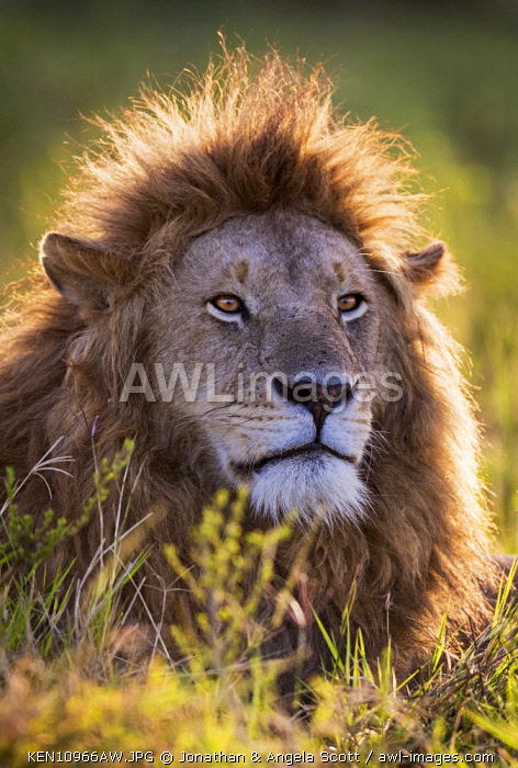 Kenya, Maasai Mara National Game Reserve. Male lion checking for other members of his pride in the early morning.