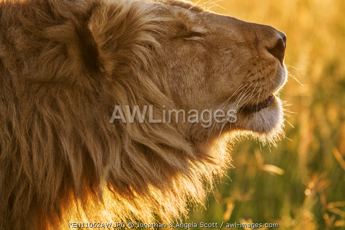 Kenya, Maasai Mara National Game Reserve. Male lion roaring at dawn to locate his coalition partners. One of the Marsh Pride males known as the 4 Musketeers.