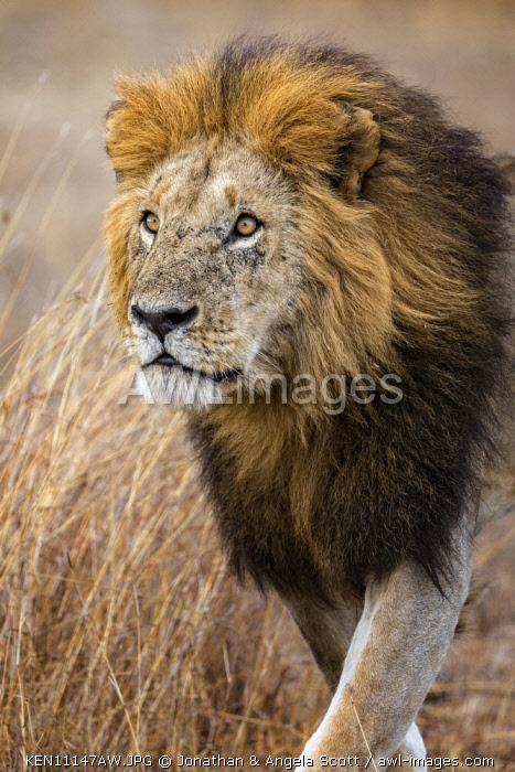 Kenya, Maasai Mara National Game Reserve. A male lion walks purposefully through long red oat grass towards the sound of roaring from other members of his pride.