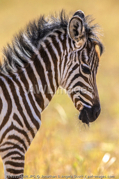 Kenya, Maasai Mara National Game Reserve. A zebra foal dozes; oblivious to danger among the safety of the family herd.