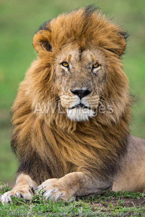 Kenya, Narok County, Maasai Mara National Reserve. A pride male alert for the sign of other members of his pride early in the morning