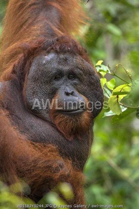 Indonesia, Borneo, Kalimantan. Male orangutan at Tanjung Puting National Park.