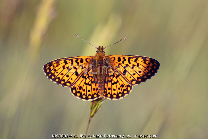 Small Pearl-bordered Fritillary (Boloria selene) butterfly resting on a blade of grass, The Netherlands, Overijssel, Salland