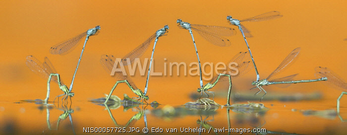 Azure Bluets (Coenagrion puella) on the water surface, mating, The Netherlands