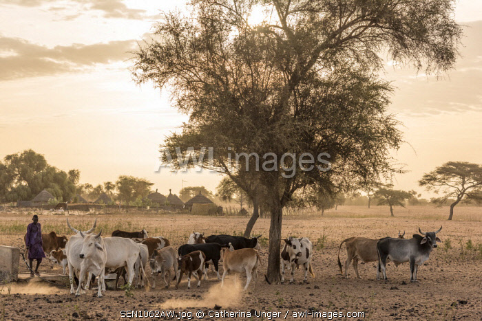 Africa, Senegal. Sunrise in a Fulani village, cattle going out