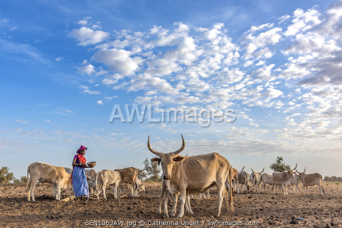 Africa, Senegal. A Fulani woman milking the Zebus.