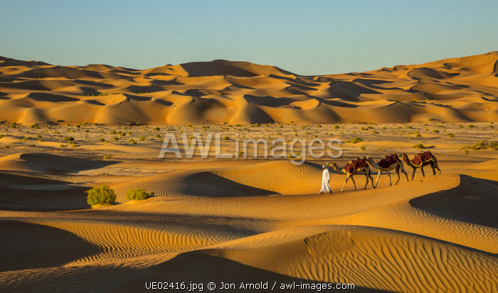Camels in the Empty Quarter (Rub Al Khali), Abu Dhabi, United Arab Emirates (MR)