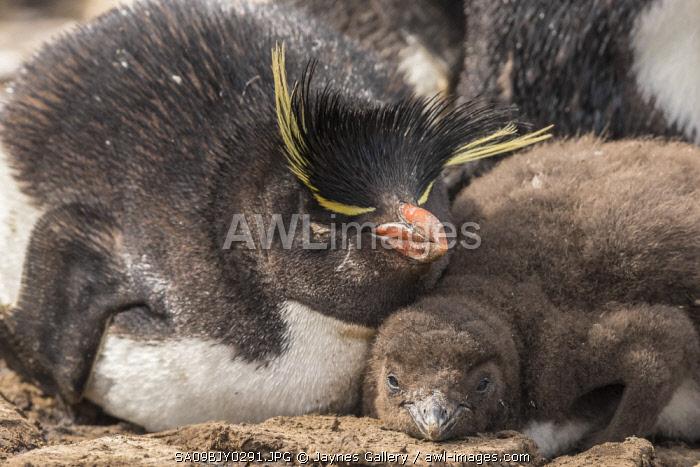 Falkland Islands, Bleaker Island. Rockhopper penguin adult and chick.