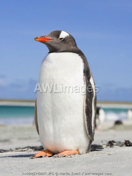 Gentoo Penguin (Pygoscelis Papua) Falkland Islands.