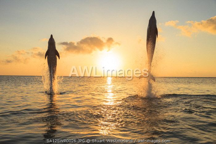 Bottlenose Dolphins (Tursiops truncatus), Caribbean Sea, Roatan, Bay Islands, Honduras