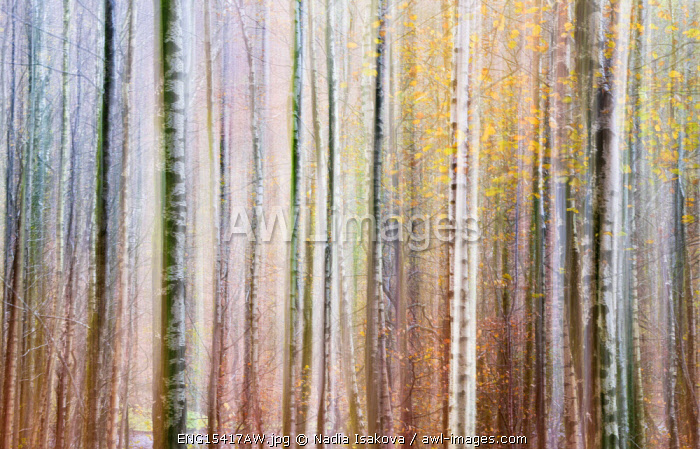 Abstract impression of the trees created by the intentional camera movement, or ICM, Grasmere, Cumbria, England