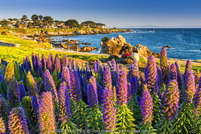 Pride of Madeira Flowers Along Coast, Pacific Grove, California, USA