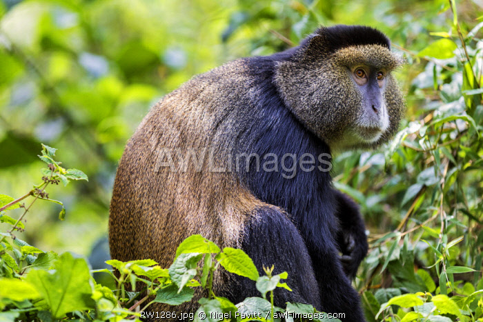 Rwanda, Kinigi, Volcanoes National Park.  A Golden Monkey in bamboo forest on the slopes of Mount Sabyinyo.  This endangered species of Old World Monkey is only found in the Virunga Volcanoes and Nyungwe Forest of Rwanda.