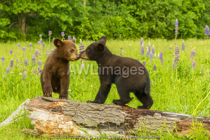 USA, Minnesota, Minnesota Wildlife Connection. Captive black bear cubs on log.