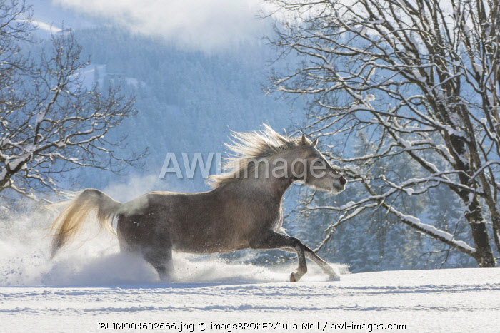 Arabian horse, mare galloping in deep snow, Tyrol, Austria, Europe