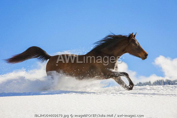 Arabian horse, mare galloping in deep snow, Tyrol, Austria, Europe