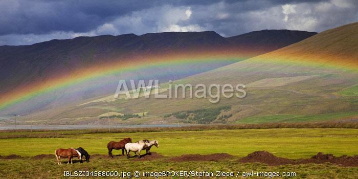 Icelandic horses (Equus ferus caballus) in grass landscape with rainbow, Blondudalur, Iceland, Europe