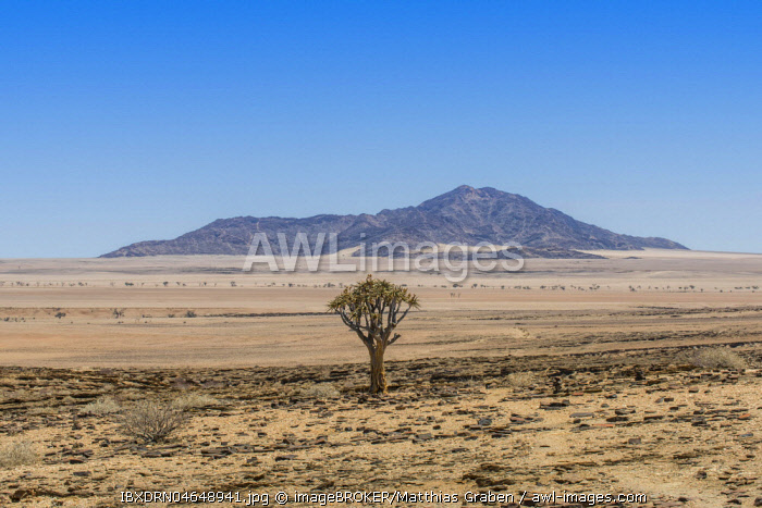 Desert-like landscape with Quiver tree (Aloe dichotoma), crossing Khomas-Hochland to the coastal desert Kries se Rus, Khomas Region, Namibia, Africa