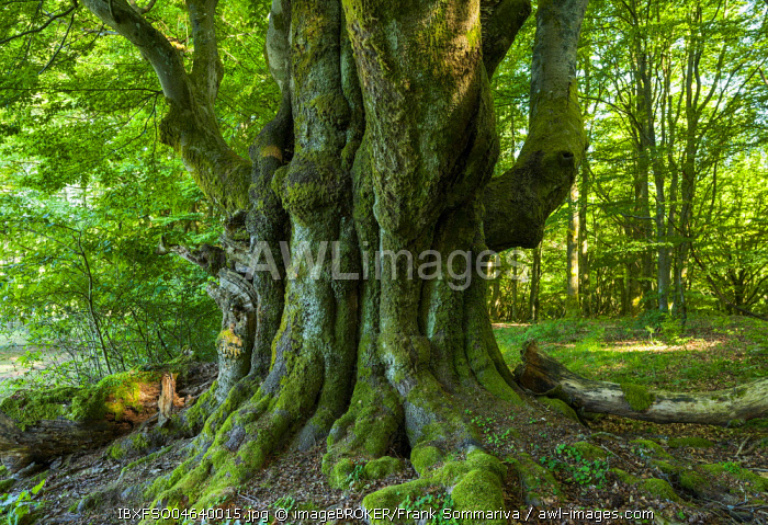 Old Common beech (Fagus sylvatica), Wood pasture beech, Rhon Biosphere Reserve, Bavaria, Germany, Europe