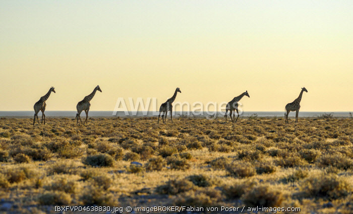 Angolan Giraffes (Giraffa camelopardalis angolensis) running one after another in the steppe, Etosha National Park, Namibia, Africa