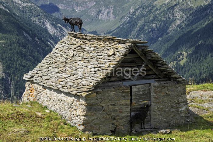 Goat (Capra) on the roof of an old stone hut near the Alpe Corte del Sasso, Lavizzara, Canton Ticino, Switzerland, Europe