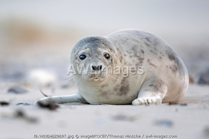 Grey seal (Halichoerus grypus) on the beach, North Sea island Helgoland, Schleswig-Holstein, Germany, Europe