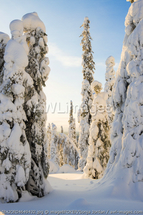 Snow-covered trees, Spruces, fjeld in winter, Riisitunturi National Park, Posio, Lapland, Scandinavia, Finland, Europe
