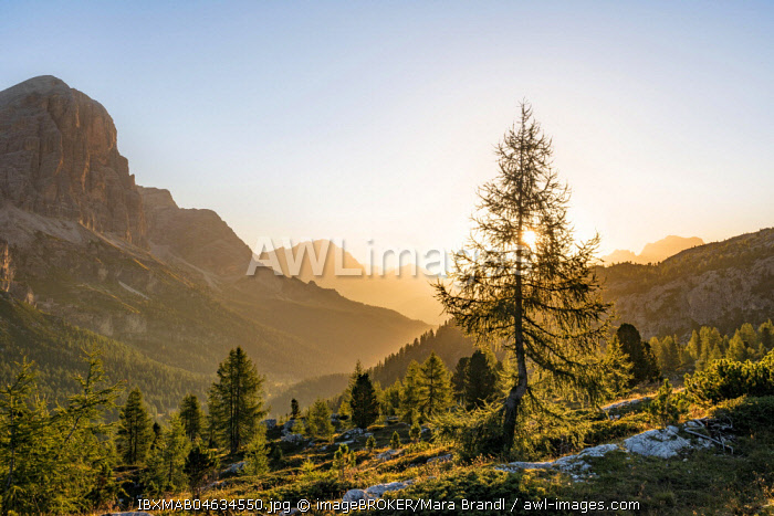 Larch in the morning sun in front of mountain panorama, sunrise, Col dei Bos and Tofane peaks, Falzarego Pass, Dolomites, South Tyrol, Trentino-Alto Adige, Italy, Europe