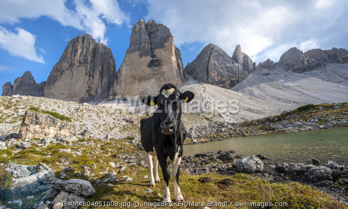 Cow with heart-shaped fur pattern on her forehead on the alpine pasture, north faces of the Three Peaks of Lavaredo, Sexten Dolomites, South Tyrol, Trentino-South Tyrol, Alto-Adige, Italy, Europe