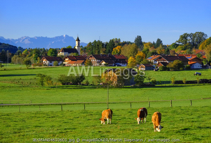 Cows graze in a meadow, Deining near Egling with Zugspitze, Alpine foothills, Upper Bavaria, Bavaria, Germany, Europe