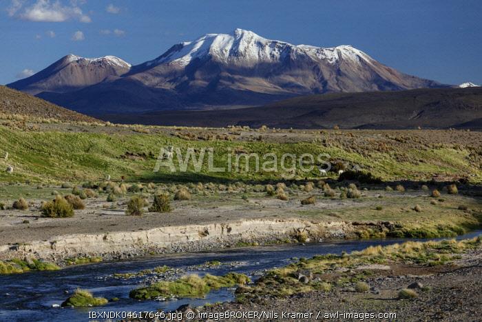 Snow covered volcano Parinacota, with Lamas at a mountain river, Putre, Region de Arica y Parinacota, Chile, South America