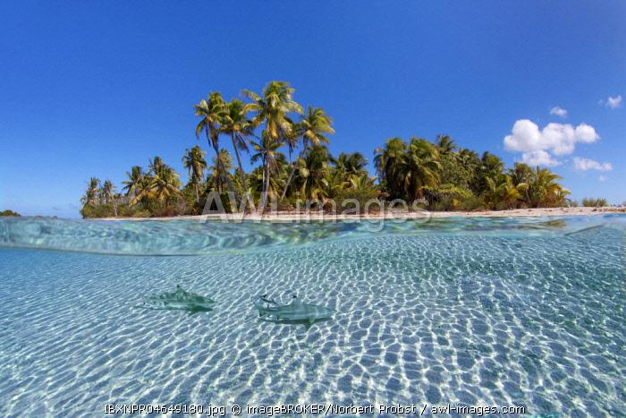 Island with palm trees, Blacktip reef shark (Carcharhinus melanopterus), Pacific Ocean, French Polynesia, Oceania