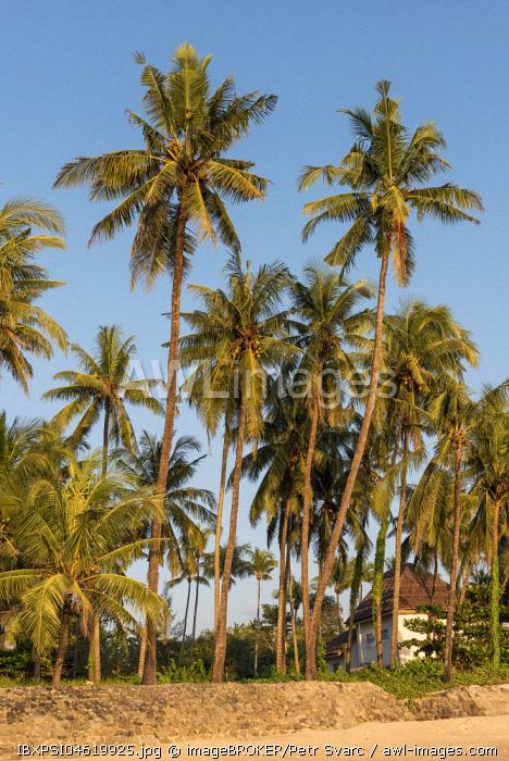 Coconut palm trees at Ngapali Beach, Rakhine State, Myanmar, Burma, Asia