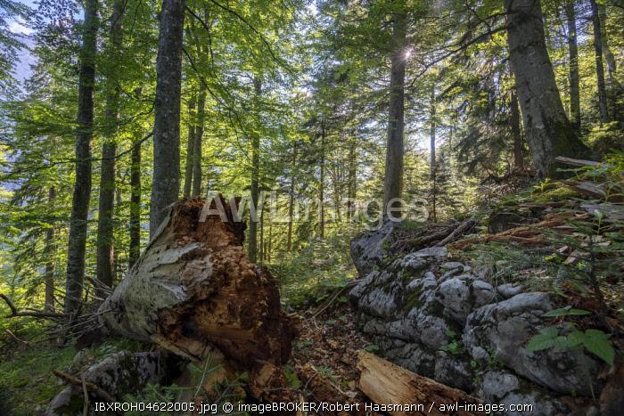 Deadwood in Austria's last primeval forests, primary forest, Kalkalpen National Park, Upper Austria, Austria, Europe