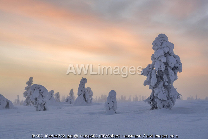 Snowy trees at sunset, winter landscape, Pyhä-Luosto National Park, Lapland, Finland, Europe