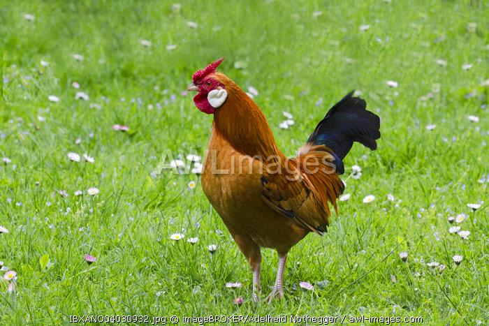 Bantam chicken (Gallus gallus f. domestica), cock, Tyrol, Austria, Europe