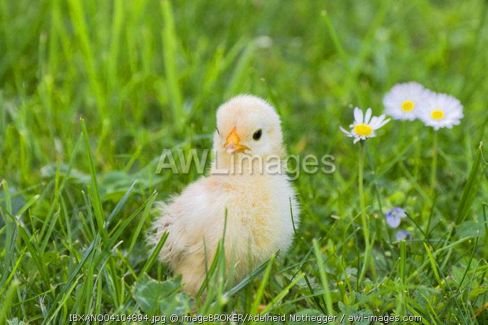 Bantam chick, Tyrol, Austria, Europe